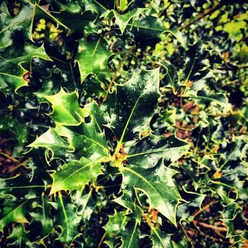 Beautiful Holly tree. by ShannonFPhotography