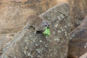 Hyrax camouflage by DeviantTeddine