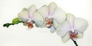 Orchid Botanical Illustration by LateNightProject