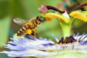 Croatian Bee with Pollen by Satriver