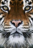 tiger for graphic class by daerac