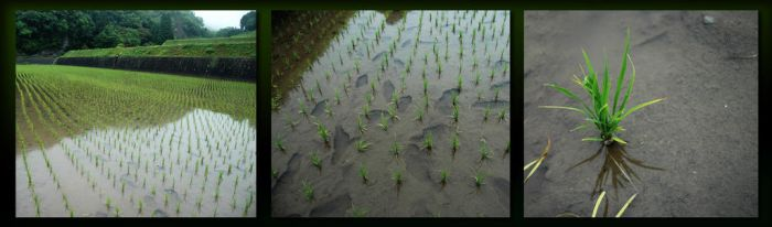 Rice Paddy by DebsDebs