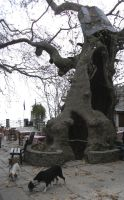 the plane tree in the square of Makrinitsa by ritsasavvidou