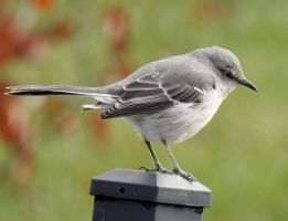 Northern Mocking Bird by Seagaullsphotography