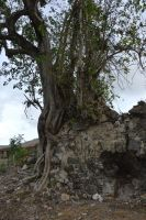 Ficus macrophylla and house ruins by A1Z2E3R