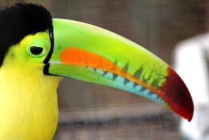 Angry Toucan by Anphitrite