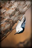 White-Breasted Nuthatch by caillteone