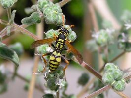 A wasp by Kutaly