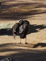 Crested Screamer by Deede25