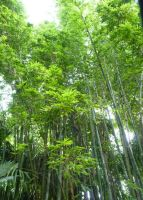 Bamboo forest by Blondefishy