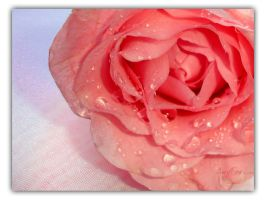 A Rose is a Rose by afox2004