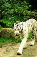 White Tiger on Tour by queststar