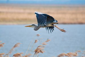 flying heron 2 by artistmarty
