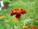 Marigold by Prouda