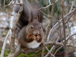 Squirrel 41 by Cundrie-la-Surziere