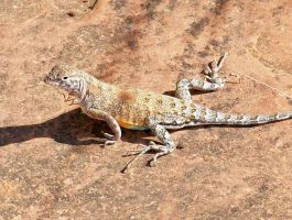 Lesser Earless Lizard by ZoPteryx