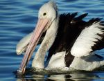 Pelican close up 1 by wildplaces