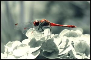 Dragonfly by cailenc