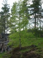 green birch by malicia-stock