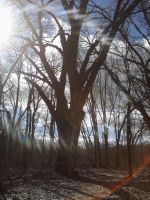 The Cottonwood by bueatiful-failure