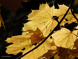 Golden maple leaves by Mogrianne