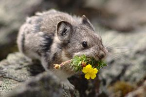Pika Flower by HerrHaller