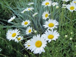 The Garden: Daisies by en-visioned