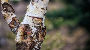 Birch Tree by SongOfFall