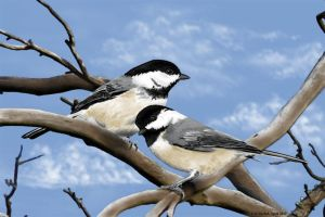 Chickadees by FMRachel