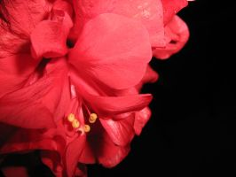 red passion... by puszika