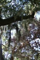 Spanish Moss 2 by elf-fu-stock