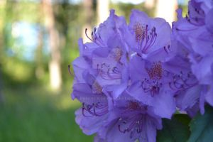 Rhododendron by rubenick