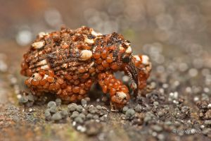 Weevil infested with hypopus by melvynyeo