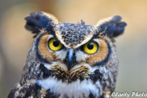 Great Horned Owl V by xernex
