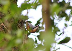 Nuthatch by JetteReitsma