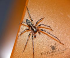 Anyphaena accentuata - Male by TheFunnySpider