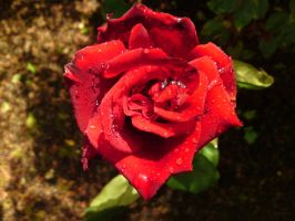 Rose Red by BrittanyJustus