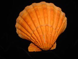Orange clam shell 3 by Designdivala