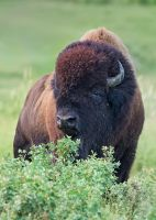 Plains Bison-Confident by JestePhotography