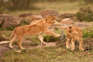 African Lion 74 by catman-suha