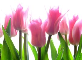 Backlit Tulips by muffet1