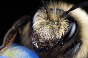 Solitary Bee 4 by Alliec