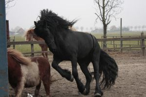 Friesian Stallion 27 by PerfectionStock