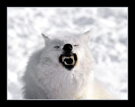 Arctic Wolf by Scuba622