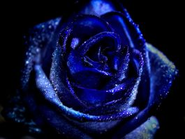Blue rose HDR by eyedesign