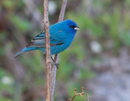 Indigo Bunting, Bath, New Hampshire by steverino365