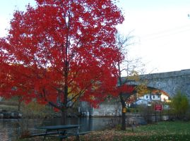 flaming Acer rubrum by crazygardener