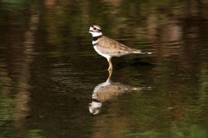 Killdeer by olearysfunphotos