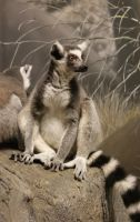 Ring-Tailed Lemur by MicWits101