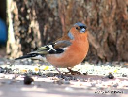 Chaffinch / Buchfink 11 by bluesgrass